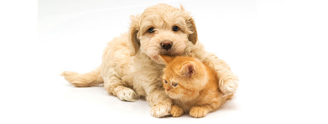 Dog Breeds That Get Along With Cats
